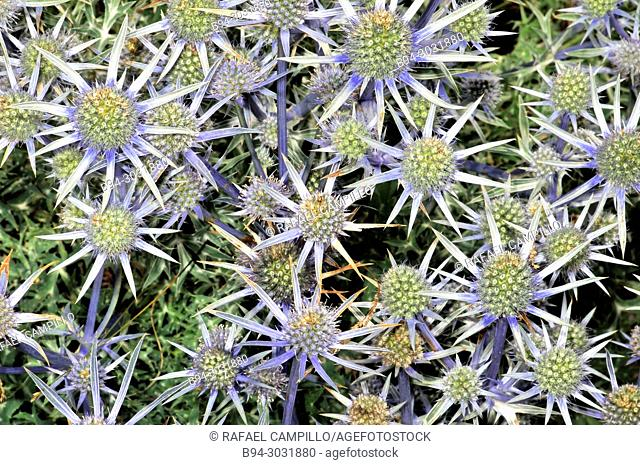 Flowers of Eryngium bourgatii. Mediterranean sea holly. Fam. apiaceae. Sorteny valley, Natural Park. Andorra