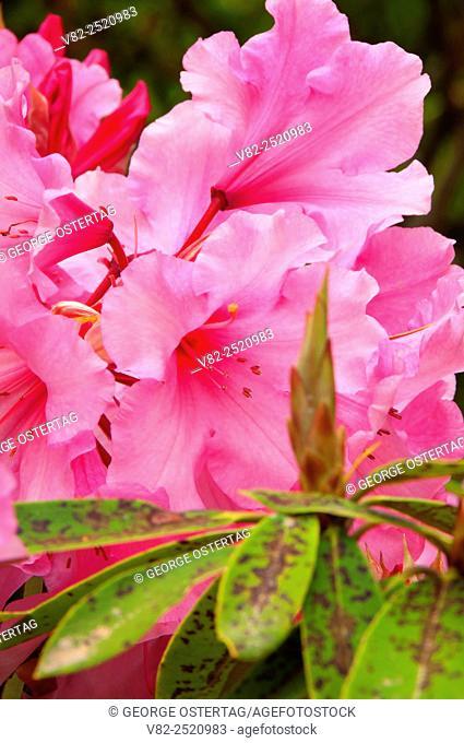 Rhododendron blossom, The Rhododendron Garden, Hendricks Park, Eugene, Oregon