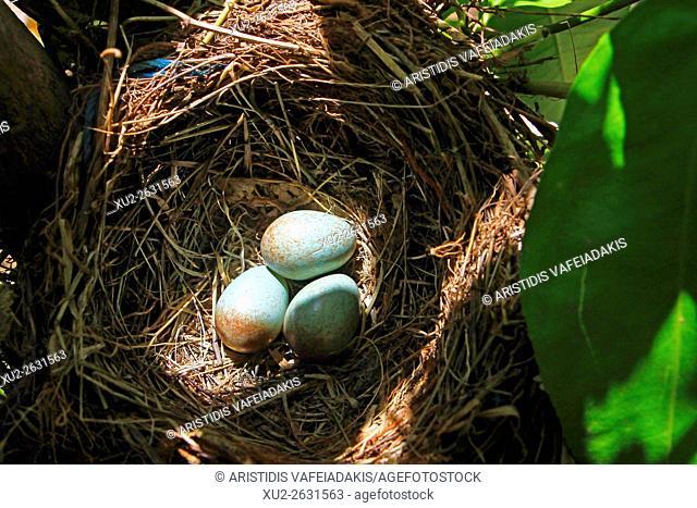 Blackbird (turdus merula) nest