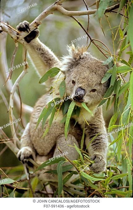 Koala (Phascolarctos cenereus) - Eating eucalpytus leaves - Australia - Range is from southestern Queensland through eastern New South Wales and Victoria to...
