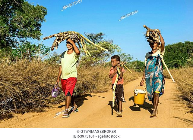 Two Malagasy women and a boy walking on the road and carrying sugar cane on their heads, Bekopaka, Majunga province, Madagascar
