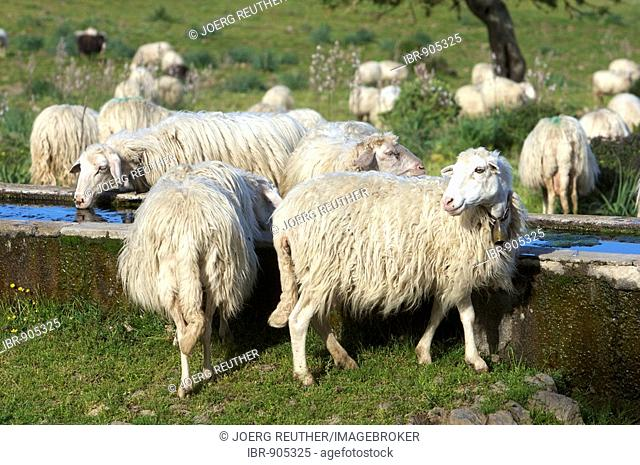 Sheep drinking at a water trough in the Gennargentu National Park, Sardinia, Italy, Europe