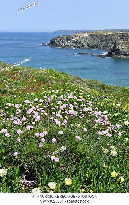 Armeria pungens blossom. Zambujeira do Mar. Sudoeste Alentejano and Costa Vicentina Nature Park, the wildest atlantic coast in Europe. Portugal
