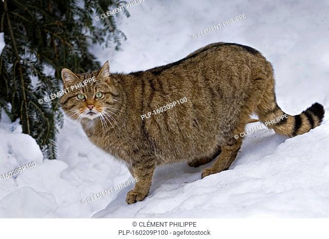 European wildcat (Felis silvestris silvestris) walking in the snow in winter