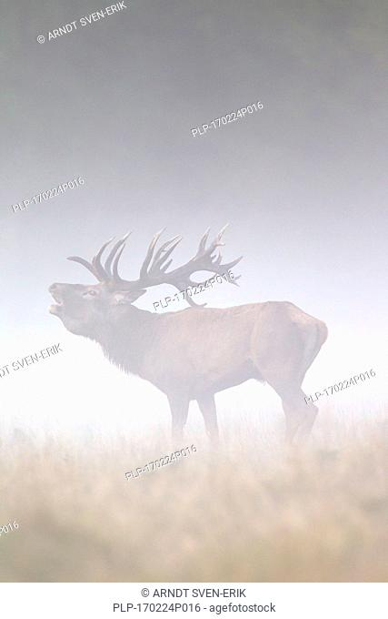 Red deer (Cervus elaphus) stag bellowing in grassland in thick fog during the rut in autumn