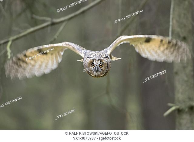 Indian Eagle-Owl / Rock Eagle-Owl ( Bubo bengalensis ) in flight, dynamic frontal shot, very detailed, bright eyes