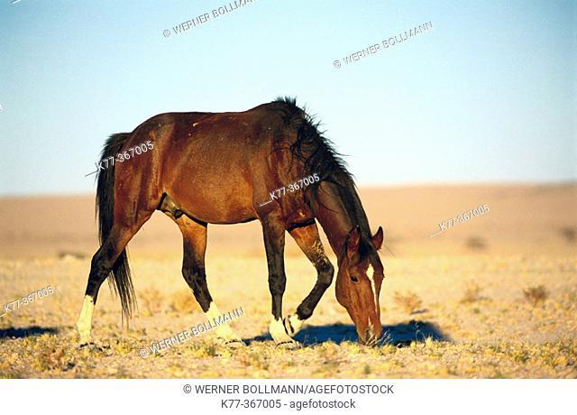 Namib wild horse (Equus caballus). Klein Aus. Namibia