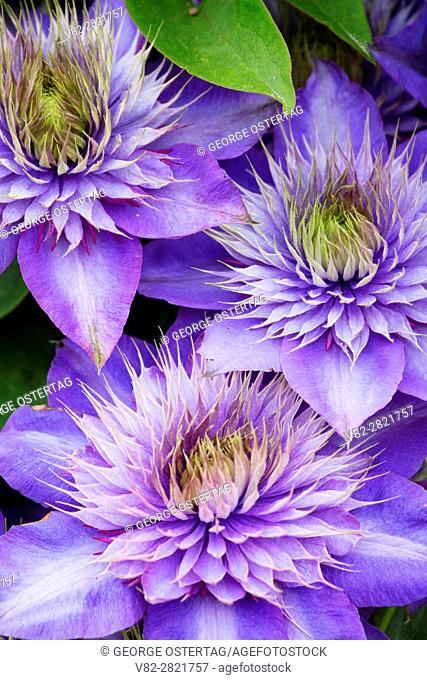 Clematis, Schreiners Iris Gardens, Keizer, Oregon