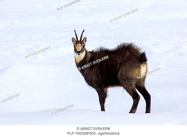 Chamois (Rupicapra rupicapra) male with back hairs raised in the snow in winter during the rut in the European Alps