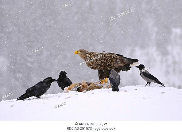 Raven Hooded Crows and White-tailed Sea Eagle at Red Fox carcass Norway Corvus corax Corvus corone cornix Haliaeetus albicilla