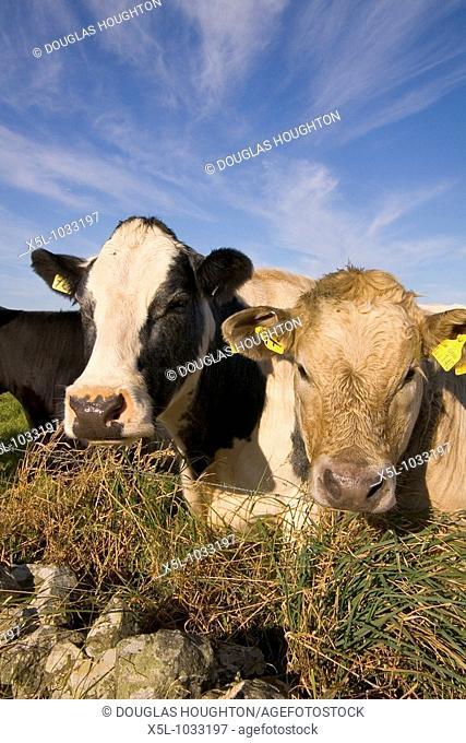 Cow ANIMALS FARMING Beef cattle in field Harray Orkney