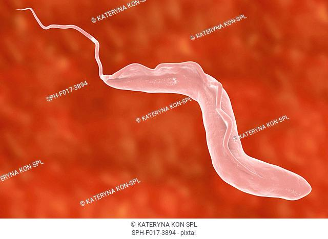 Sleeping sickness. Computer illustration of a trypanosome (Trypanosoma brucei). This protozoan is the cause of sleeping sickness (African trypanosomiasis)