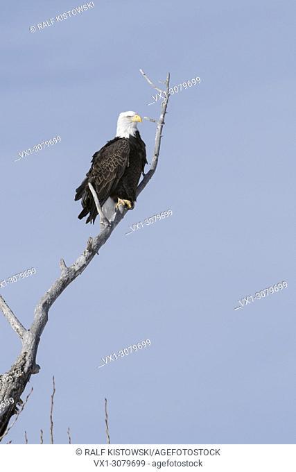 Bald Eagle ( Haliaeetus leucocephalus ), perched in a cottonwood tree, detailed shot, Yellowstone valley, Montana, USA.
