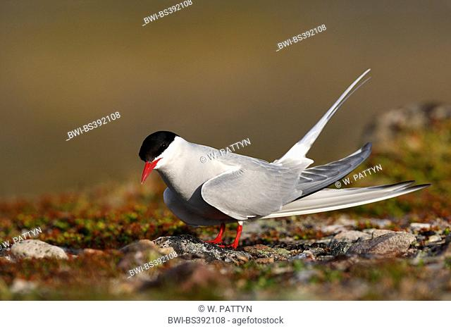 arctic tern (Sterna paradisaea), on the ground, side view, Belgium