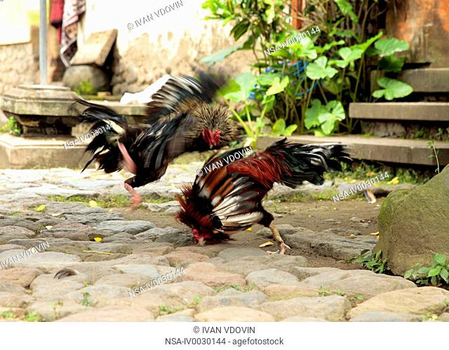 A traditional roosters fight in Bali, Indonesia