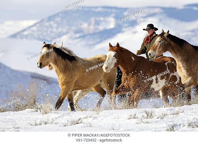 Cowboy herding horses in winter, Shell, Wyoming, Usa