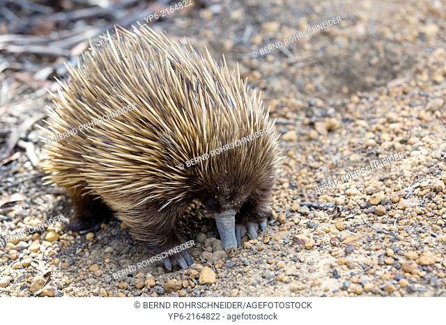 Short-beaked Echidna (Tachyglossus aculeatus), Kangaroo Island, South Australia, Australia