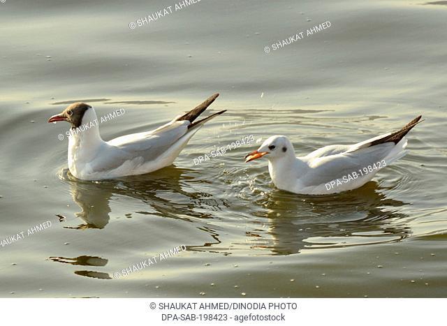 Seagull in ana sagar lake, ajmer, rajasthan, india, asia