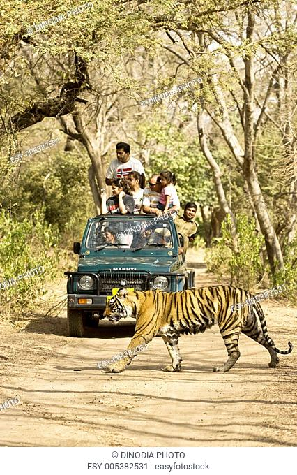 Tiger panthera tigris and tourists jeep ; Ranthambore tiger reserve ; Rajasthan ; India