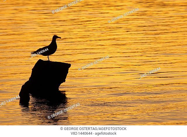 Gull sunset, Julia Butler Hanson Columbian Whitetail Deer National Wildlife Refuge, WA