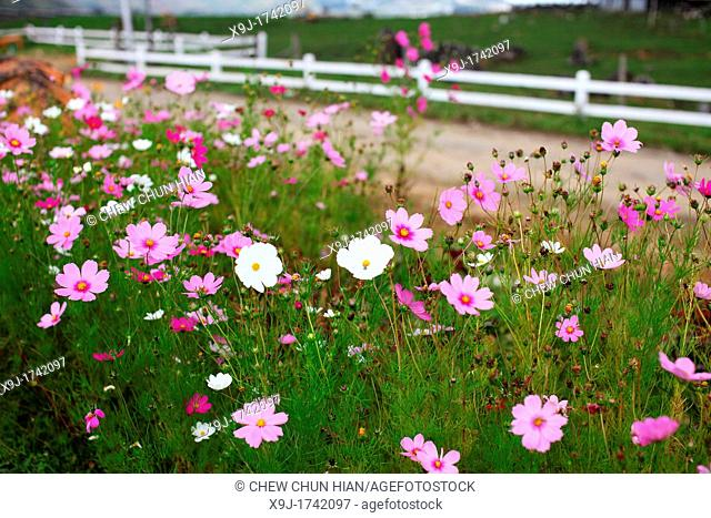 Pink and white Cosmos wild flowers at the roadside, Malaysia
