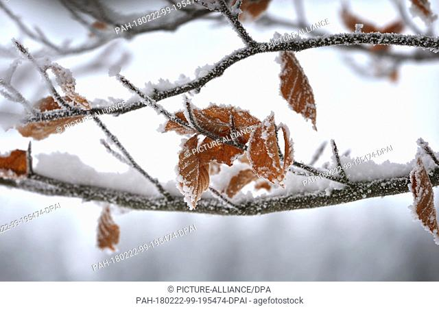 22 Febuary 2018, Germany, Bernbeuren: Leaves on a tree on the Auerberg are frozen in the frost. Photo: Karl-Josef Hildenbrand/dpa