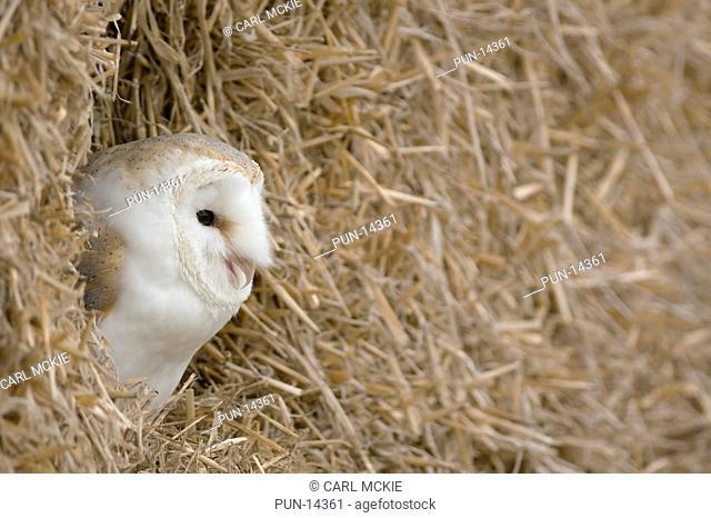 Barn owl Tyto alba roosting amongst straw bales on a Gloucestershire farm, England