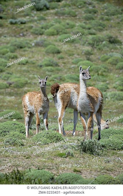 Guanacos (Lama guanicoe) in Torres del Paine National Park in Patagonia, Chile