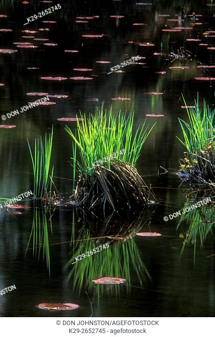 Water lily pads and marsh grasses, Killarney, Ontario, Canada