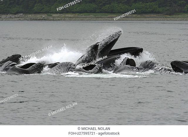 Adult humpback whales Megaptera novaeangliae cooperatively bubble-net feeding near Freshwater Bay on Chichagof Island in Southeast Alaska, USA