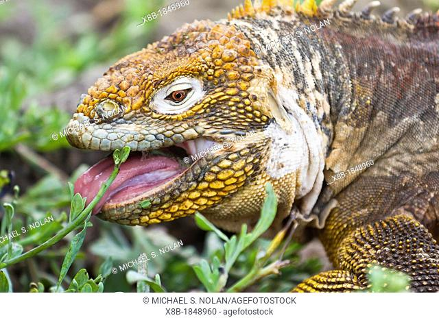 The very colorful Galapagos land iguana Conolophus subcristatus feeding on North Seymour Island in the Galapagos Island Archipelago, Ecuador