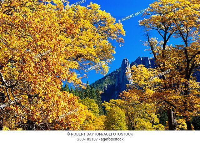 Black Oaks (Quercus velutina). Yosemite National Park. California. USA