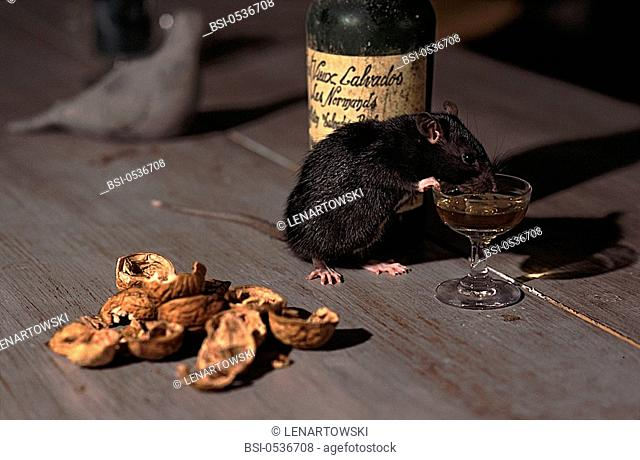 Brown rat Brown rat Rattus norvegicus drinking a glass of alcohol Calvados, picture taken at night