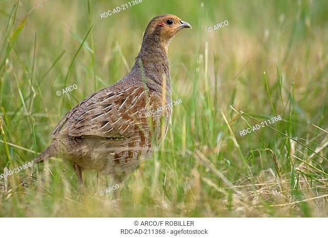 Grey Partridge, male, Perdix perdix