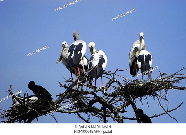 STORKS IN BHARATPUR BIRD SANCTUARY, RAJASTHAN,INDIA