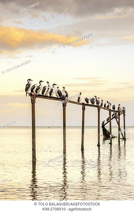 Chile, Patagonia, Sandy Point, Costanera, Punta Arenas, Cormorants (Phalacrocoracidae) perching on ruined pier construction in sea