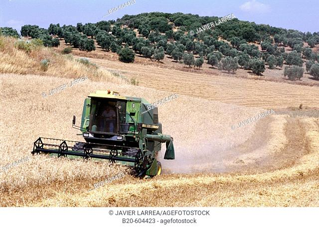 Wheat harvest. Andalucia. Spain