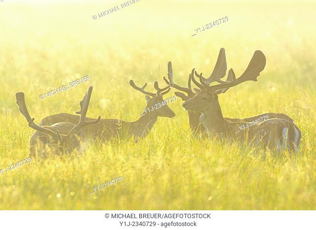 Fallow Deers (Cervus dama) on misty morning, Hesse, Germany, Europe