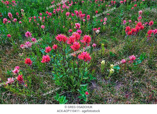 Alpine meadow blooms with giant red Paintbrush, castilleja miniata, Echo Lake, Kootenay region, BC, Canada