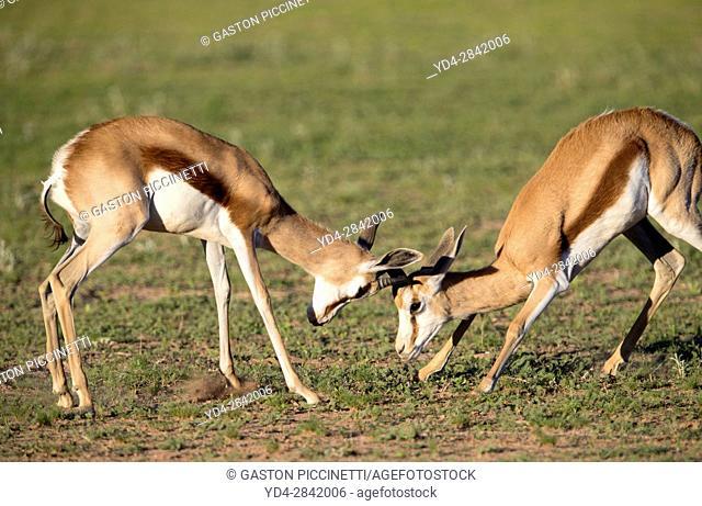 Springboks (Antidorcas marsupialis), fighting, Kgalagadi Transfrontier Park in rainy season, Kalhari Desert, South Africa/Botswana