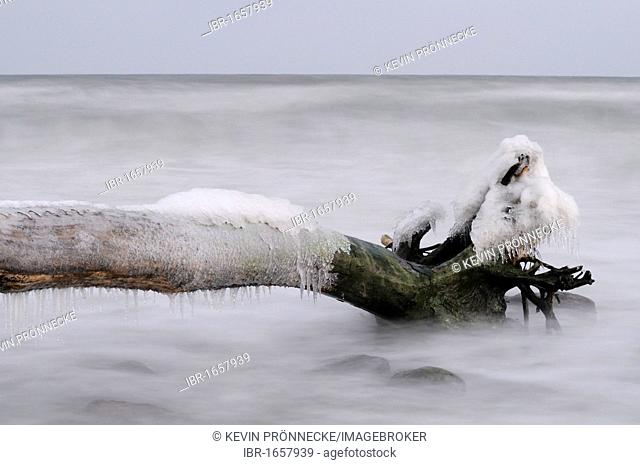 Ice-covered tree stump on the Baltic Sea shore, Jasmund National Park, Ruegen Island, Mecklenburg-Western Pomerania, Germany, Europe