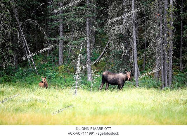 Cow and calf moose in Kananaskis Country, Alberta, Canada