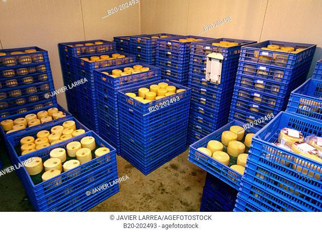 Sheep cheese in cold-storage room. Legazpi. Gipuzkoa. Spain