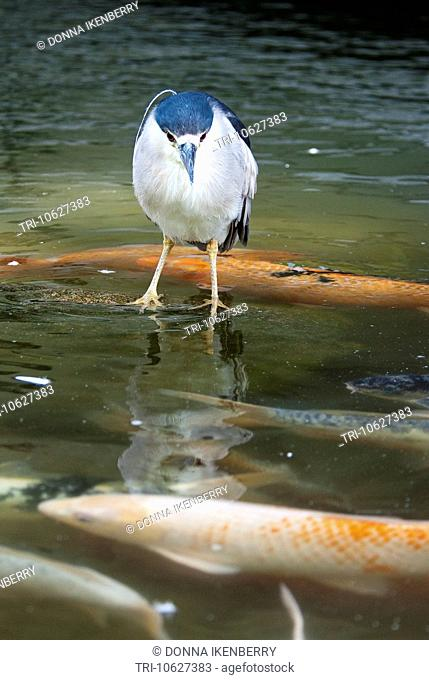 Black-crowned Night Heron Nycticorax nycticorax Rio Grande Zoo Albuquerque New Mexico USA