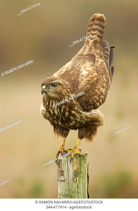 Buzzard (Buteo buteo) on perch by Doñana National Park. Huelva province, Andalusia, Spain