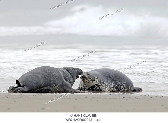 Germany, Schleswig-Holstein, Helgoland, Grey seals, Halichoerus grypus, lying at beach