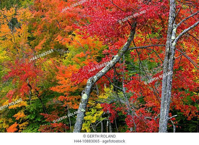 Swift River, USA, Amerika, Vereinigte Staaten, New Hampshire, White Mountain, Bäume, Wald, Verfärbung, Indian Summer, Herbst