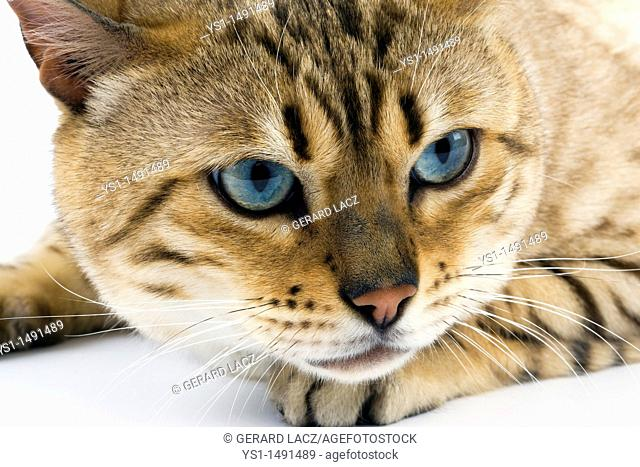 Seal Mink Tabby Bengal Domestic Cat, Portrait of Male against White Background