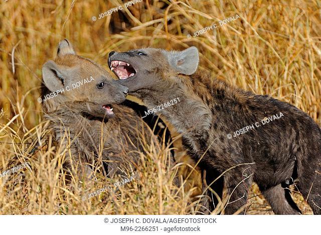 Young spotted hyena cubs play, Savuti, Botswana, Africa