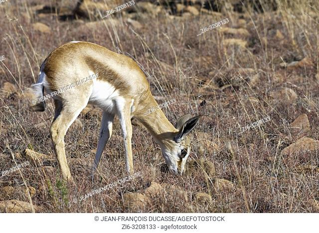 Young springbok (Antidorcas marsupialis), grazing in dry grass, Mountain Zebra National Park, Eastern Cape, South Africa, Africa